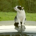 Gato c/ antena - Postal de Animais