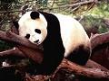 Panda - Postal de Animais