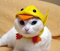Gato pato - Postal de Animais