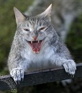 Catwolf - Postal de Animais