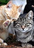 Limpeza de gato - Postal de Animais