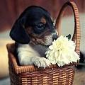 Cesta com cãozinho - Postal de Animais