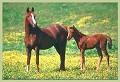 Cavalos - Postal de Animais