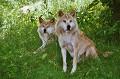 Lobos - Postal de Animais