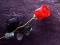 Rosa vermelha - Postal de Amor