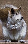 wolf - Postal de Animais