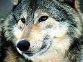 Focinho de lobo - Postal de Animais