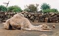 Camelo - Postal de Animais